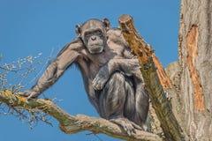 Portret czujny dorosły szympansa obsiadanie na drzewie przy niebieskim niebem zdjęcie stock