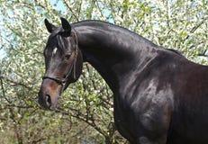 Portret czysty trakenu koń Zdjęcie Stock