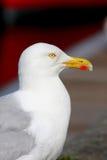Portret da gaivota Fotos de Stock