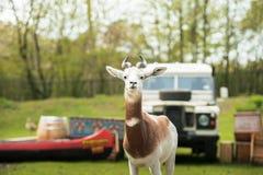 Portret Dama gazela w tle las i dżip Obrazy Stock