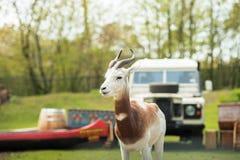 Portret Dama gazela w tle las i dżip Zdjęcie Royalty Free