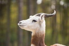 Portret Dama gazela w tle las i dżip Obraz Royalty Free