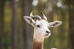 Portret Dama gazela w tle las i dżip Obraz Stock