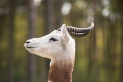Portret Dama gazela w tle las i dżip Zdjęcia Royalty Free