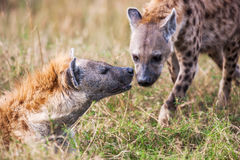 Portret dat twee hyena's (Crocuta-crocuta) speelt, Royalty-vrije Stock Fotografie