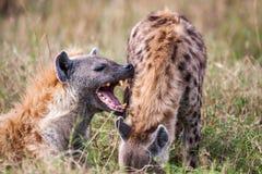 Portret dat twee hyena's (Crocuta-crocuta) speelt, Stock Afbeeldingen