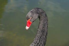 Portret del cisne negro Imagen de archivo libre de regalías