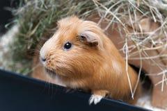 Portret del conejillo de Indias rojo Imagen de archivo
