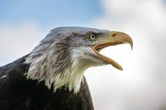 Portret dell'aquila calva Immagine Stock