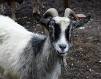 Portret della capra con il corno fotografie stock libere da diritti