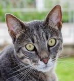 Portret der grauen gestreiften Katze mit grünen Augen Stockfoto