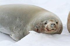 Portret die van mannelijke crabeaterverbindingen op het ijs liggen Royalty-vrije Stock Afbeeldingen