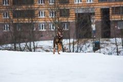 Portret die van mooie hond, bij camera lopen Stock Afbeelding