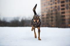Portret die van mooie hond, bij camera lopen Stock Foto's