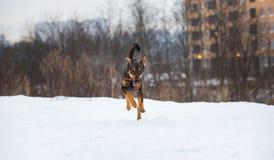 Portret die van mooie hond, bij camera lopen Royalty-vrije Stock Afbeelding