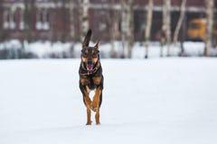 Portret die van mooie hond, bij camera lopen Royalty-vrije Stock Foto