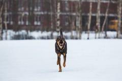 Portret die van mooie hond, bij camera lopen Stock Foto