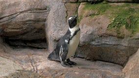 Portret die van pinguïn zich op de rotsen bij de dierentuin bevinden 4K stock videobeelden