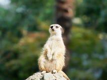 Portret die van suricatta van Meerkat Suricata, Afrikaanse inheemse dierlijke, kleine carnivoor tot de mongoesfamilie behoren royalty-vrije stock foto