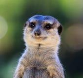 Portret die van suricatta van Meerkat Suricata, Afrikaanse inheemse dierlijke, kleine carnivoor tot de mongoesfamilie behoren die royalty-vrije stock fotografie