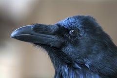 Portret die van zwarte kraai - gemeenschappelijke raaf bevinden zich Royalty-vrije Stock Foto