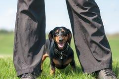 Portret die van zwarte tan van de hondtekkel, zich tussen mensenbenen op gras tegen een blauwe hemel met wolken bevinden stock fotografie