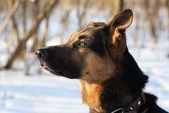 Portret do cão Foto de Stock Royalty Free