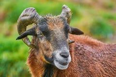 Portret do Ram Imagens de Stock Royalty Free