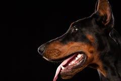 Portret doberman pinscher na czarnym tle Zdjęcie Royalty Free