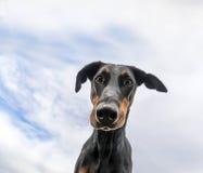 Portret Dobermann Zdjęcia Royalty Free