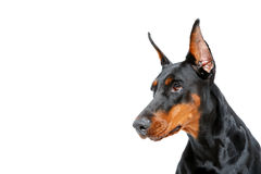 Portret dobermann pinscher Obrazy Stock