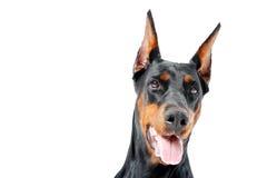 Portret dobermann pinscher z rozpieczętowanym usta Zdjęcie Stock