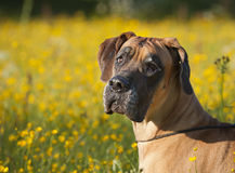 Portret of the dog Royalty Free Stock Photography