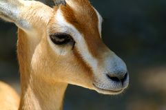 Portret dorcas gazela Obrazy Royalty Free