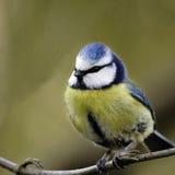 Portret dorosły Błękitny Tit (Parus caeruleus). Zdjęcie Stock