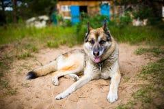Portret dorosły pies na naturze Mieszana baca i husky fotografia stock