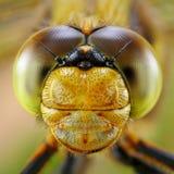 Portret Dragonfly Zdjęcie Stock