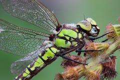 Portret dragonfly Zdjęcia Stock
