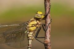 Portret dragonfly Obraz Stock