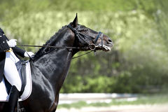 Portret dressage koń Obrazy Stock