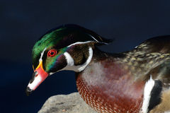 Portret Drewnianej kaczki kaczor Obrazy Stock