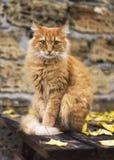 Portret duży czerwony kot patrzeje kamerę Obraz Royalty Free