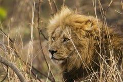 Portret duży męski lew, Kruger park, Południowa Afryka Zdjęcie Stock