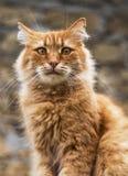 Portret duży czerwony kot Fotografia Stock