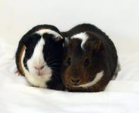 Portret dwa ślicznego królika doświadczalnego zamyka w górę białego tła dalej fotografia stock