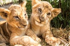 Portret dwa lwa lisiątka Zdjęcie Stock