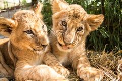 Portret dwa lwa lisiątka Zdjęcie Royalty Free
