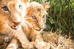 Portret dwa lwa lisiątka Obrazy Stock