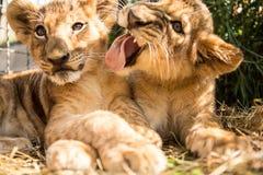 Portret dwa lwa lisiątka Zdjęcia Royalty Free