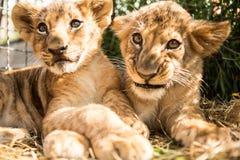 Portret dwa lwa lisiątka Zdjęcia Stock